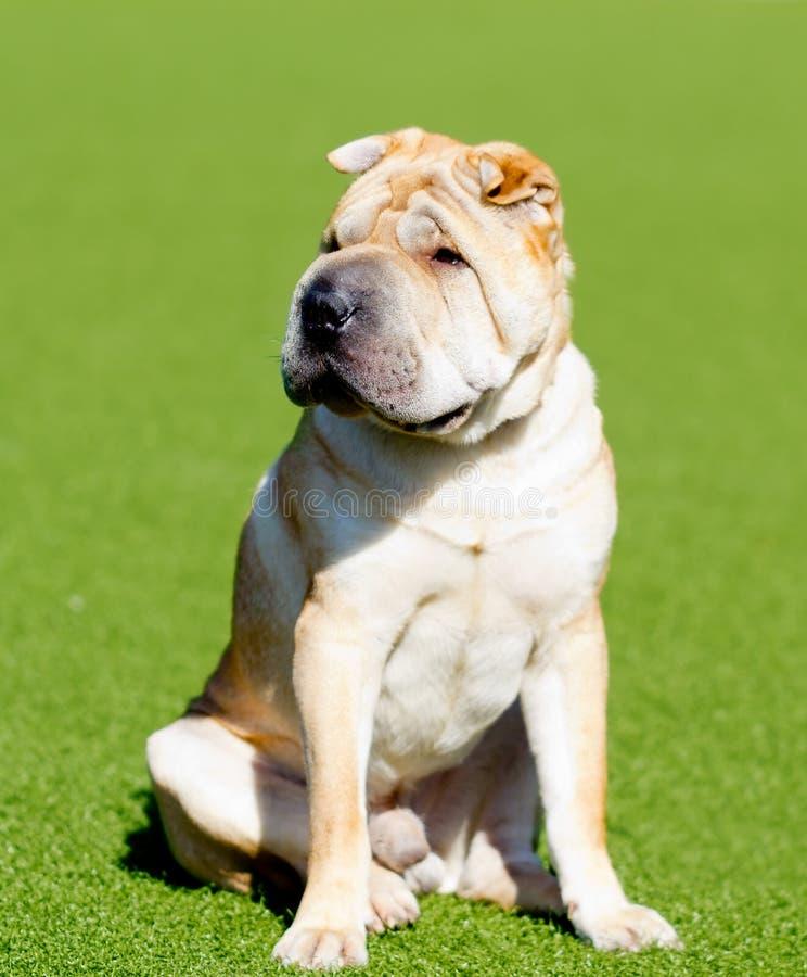 Cão do pei de Shar em um gramado verde fotografia de stock