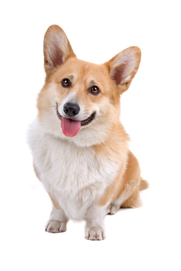 Cão do Pembroke do Corgi de Galês fotografia de stock