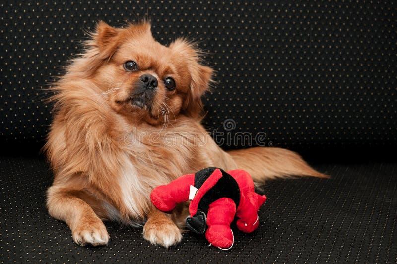 Cão do pequinês com seu brinquedo fotografia de stock