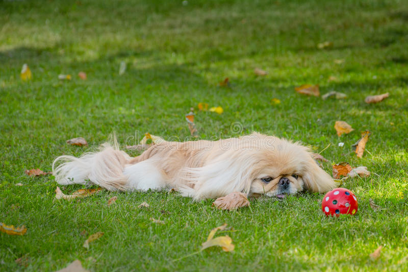 Cão do pequinês na natureza fotografia de stock royalty free