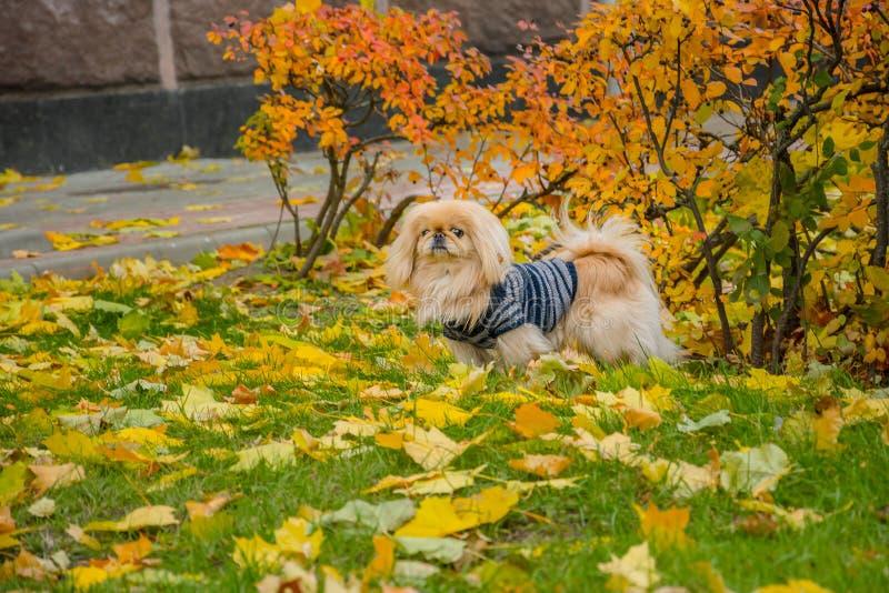 Cão do pequinês na natureza fotos de stock royalty free