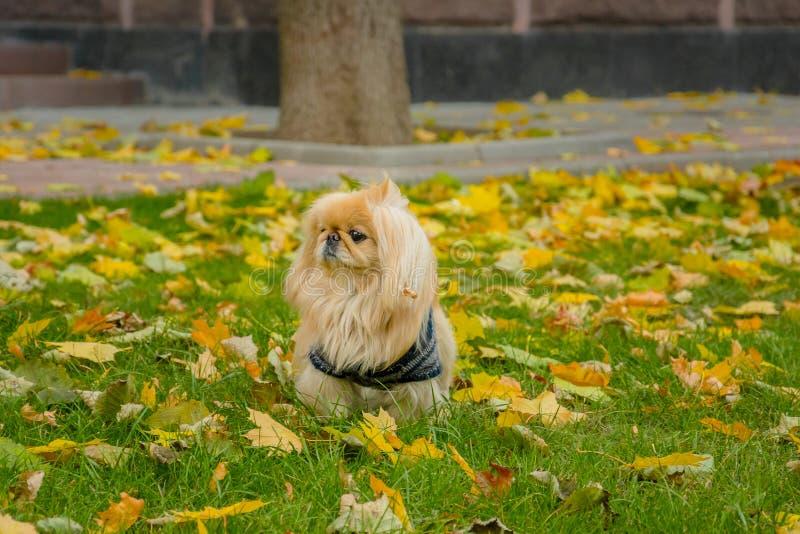 Cão do pequinês na natureza foto de stock royalty free