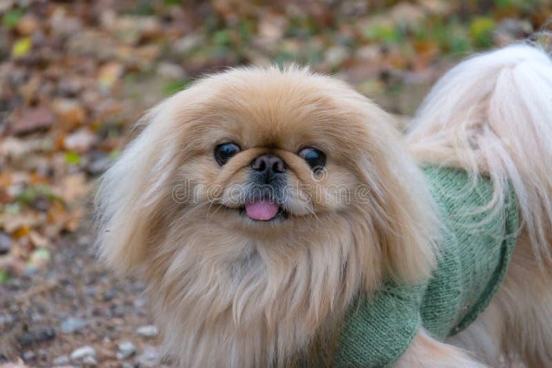 Cão do pequinês na natureza foto de stock