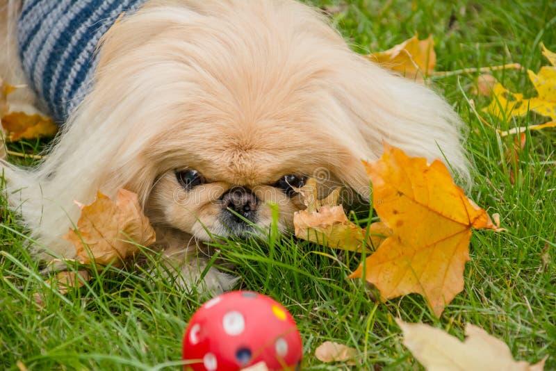 Cão do pequinês na natureza imagem de stock