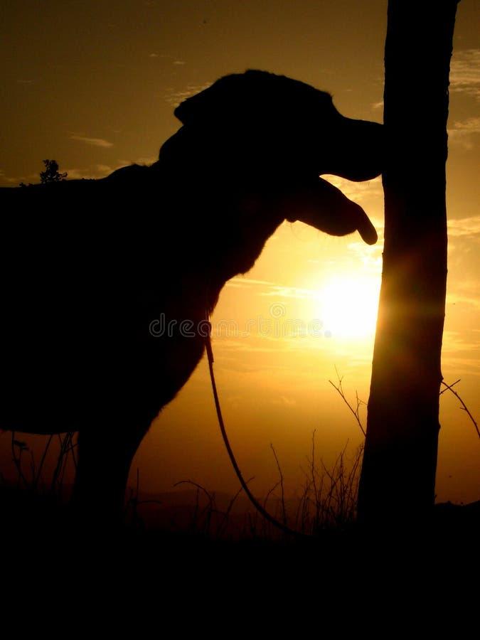 Cão do por do sol fotografia de stock