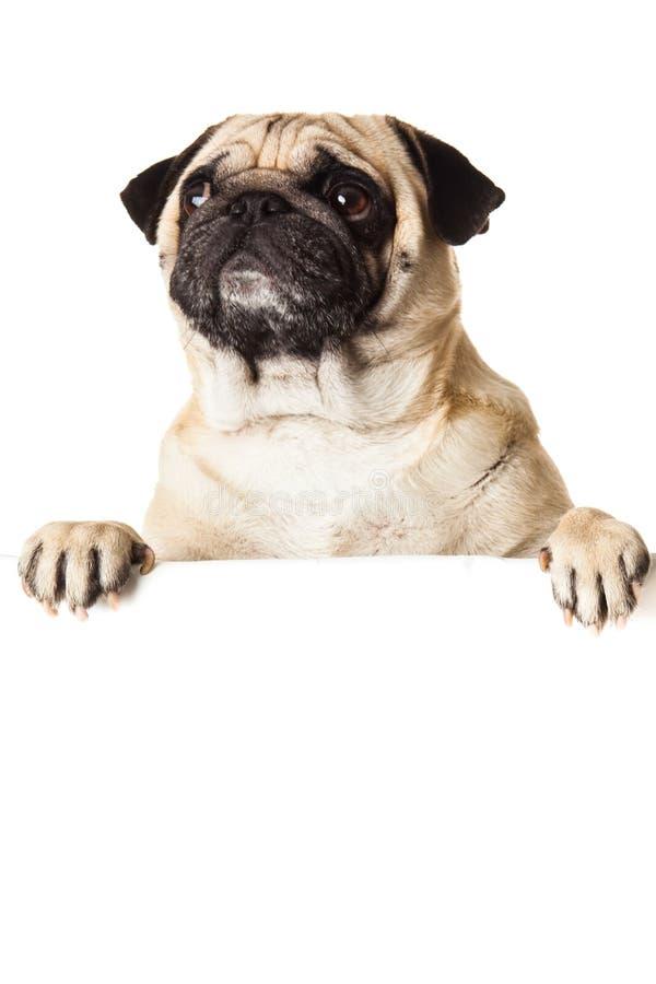 Cão do Pug com o bunner isolado no fundo branco ilustração stock
