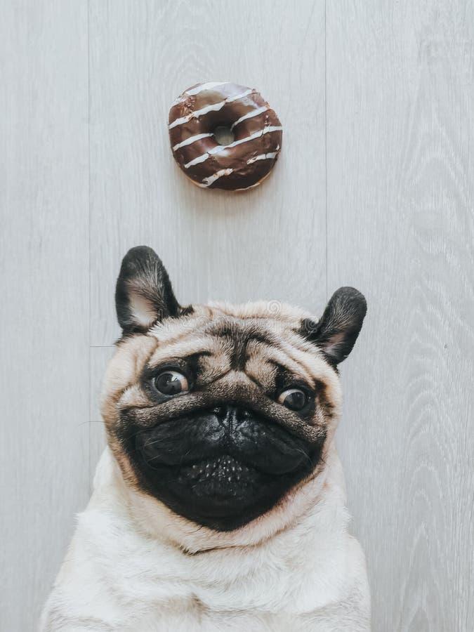 Cão do Pug com uma filhós imagem de stock