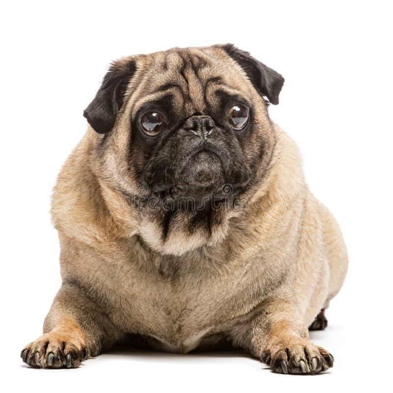 Cão do pug da jovem corça que coloca na terra imagens de stock royalty free