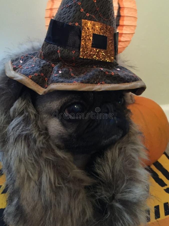 Cão do pug de Dia das Bruxas vestido acima fotografia de stock royalty free