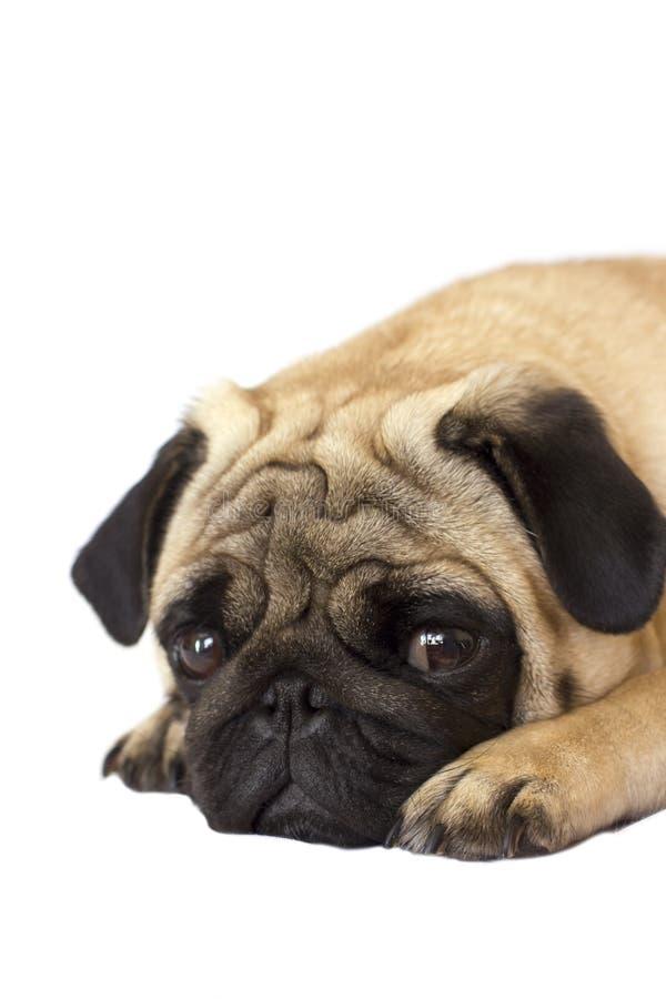 Cão do Pug isolado Vista triste com olhos grandes fotografia de stock