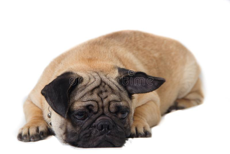 Cão do Pug no fundo branco fotos de stock royalty free