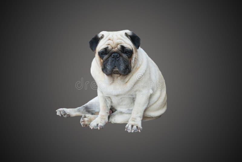 Cão do Pug que senta-se no assoalho imagem de stock
