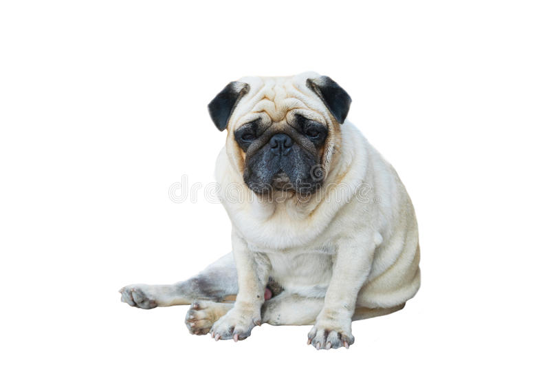 Cão do Pug que senta-se no assoalho fotografia de stock