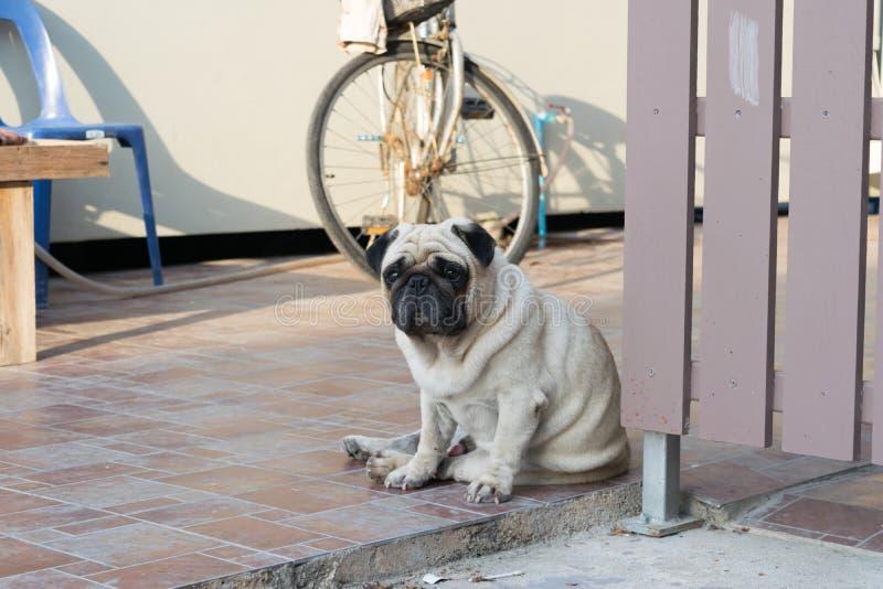 Cão do Pug que senta-se no assoalho fotos de stock royalty free