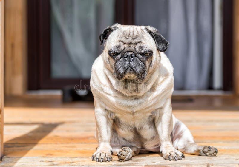 Cão do Pug que senta-se no assoalho de madeira fotografia de stock royalty free