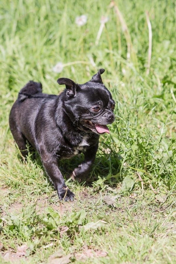 Cão do Pug que vive em Bélgica fotos de stock