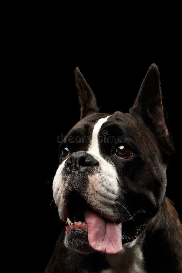 Cão do pugilista do puro-sangue isolado no fundo preto foto de stock royalty free