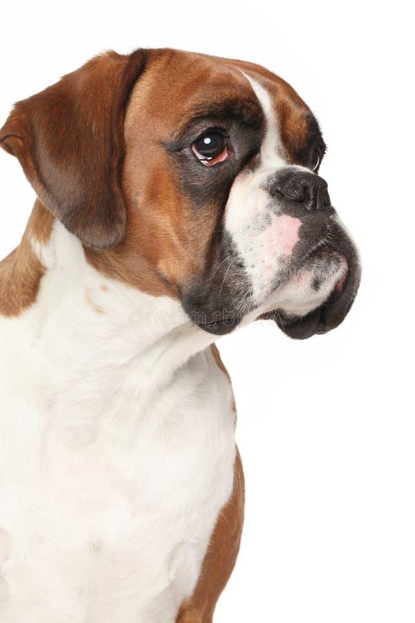 Cão do pugilista no fundo branco isolado fotos de stock