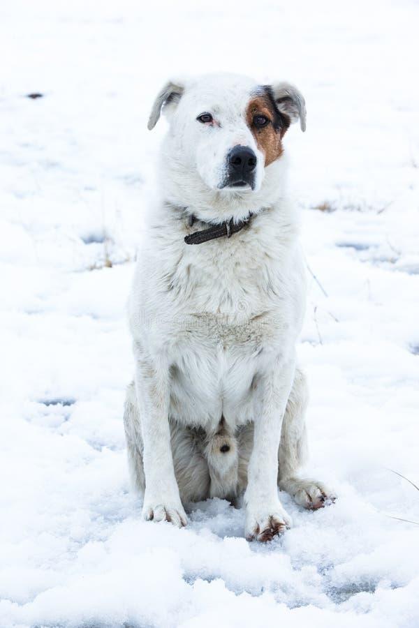 Cão do rancho imagens de stock royalty free