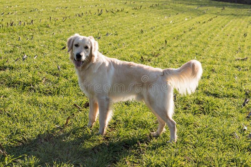 Cão do retriever dourado fotografia de stock