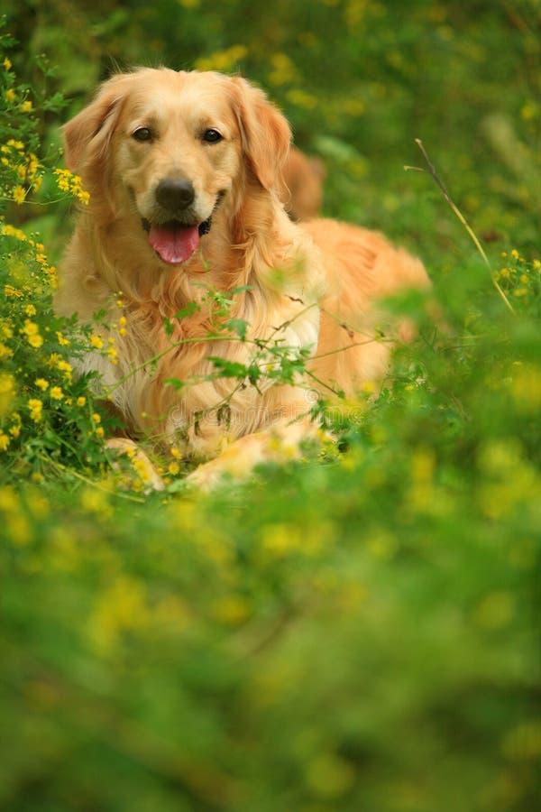 Cão do retriever dourado imagem de stock royalty free