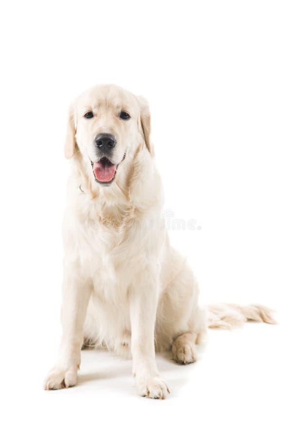 Cão do retriever dourado fotos de stock royalty free