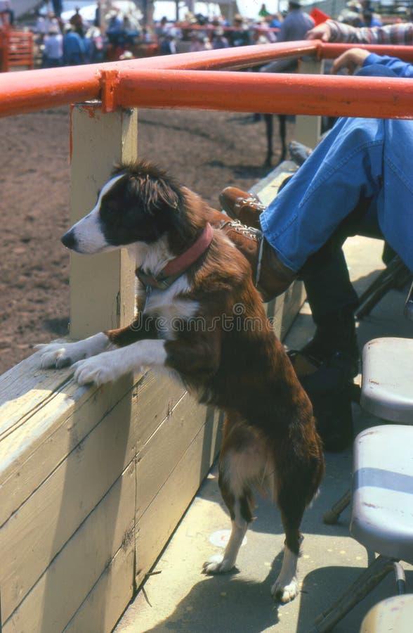 Cão do rodeio foto de stock