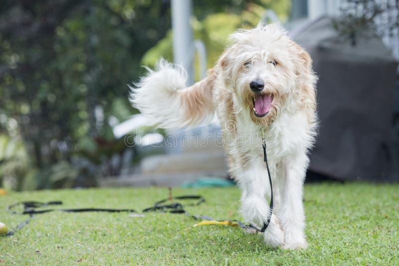 Cão do romagnolo de Lagotto imagens de stock