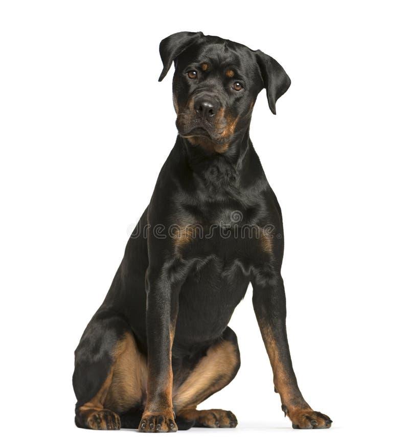 cão do rottweiler, cão de protetor que senta e que olha a câmera, iso imagem de stock royalty free