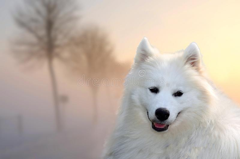 Cão do Samoyed fora na noite enevoada do por do sol foto de stock