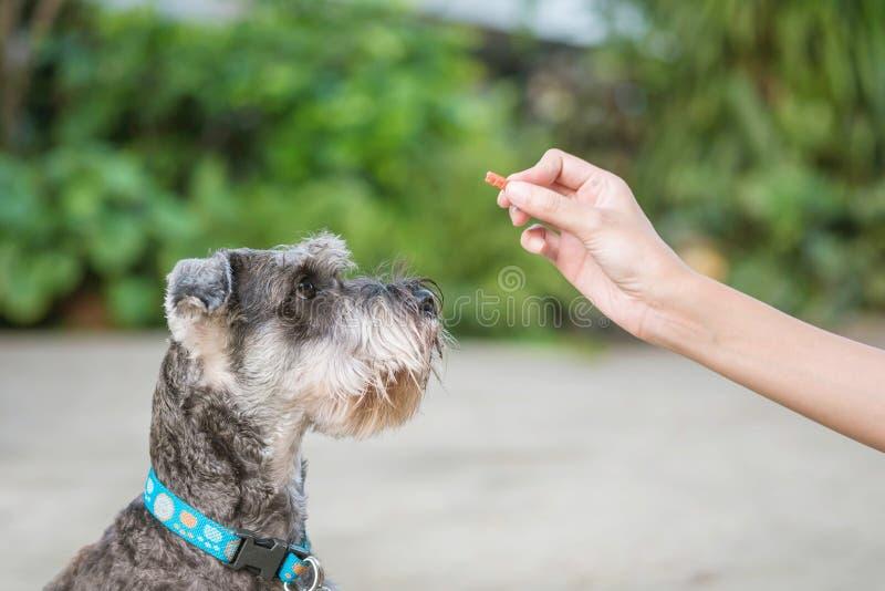 Cão do schnauzer do close up que olha a vara do alimento para o cão na mão da mulher borrada sobre na frente do fundo da opinião  fotografia de stock