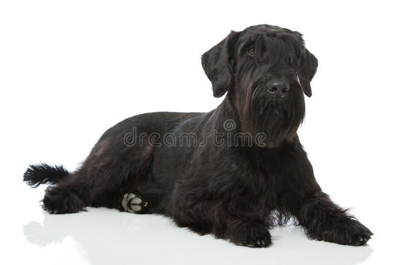 Cão do Schnauzer gigante foto de stock