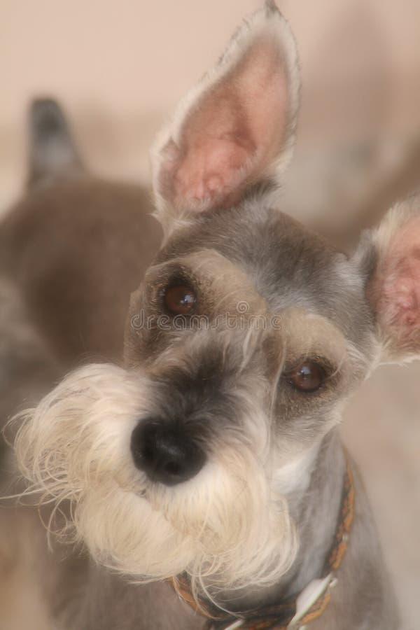 Cão do Schnauzer que não compreende fotos de stock
