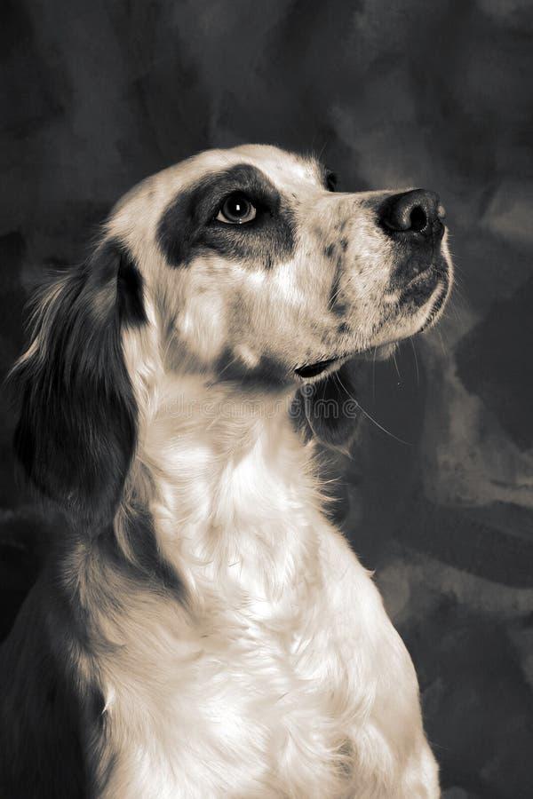 Cão do setter foto de stock royalty free