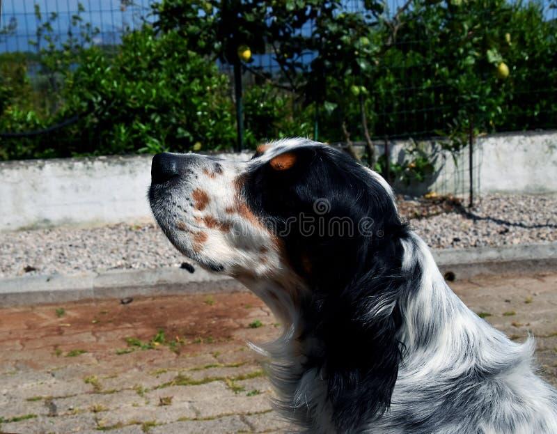 Cão do setter inglês no país fotografia de stock