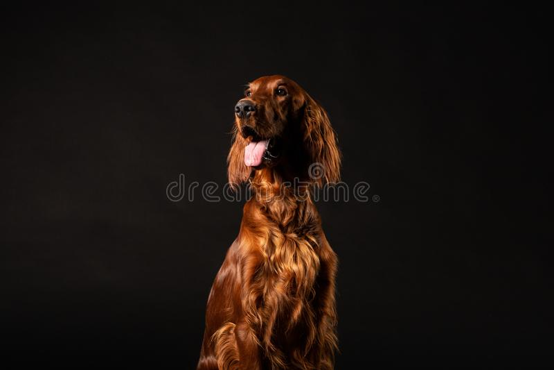 Cão do setter irlandês isolado no fundo preto foto de stock royalty free