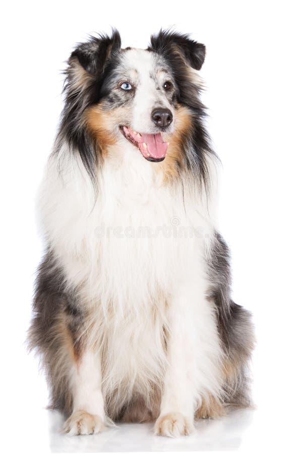 Cão do sheltie de Merle imagens de stock royalty free