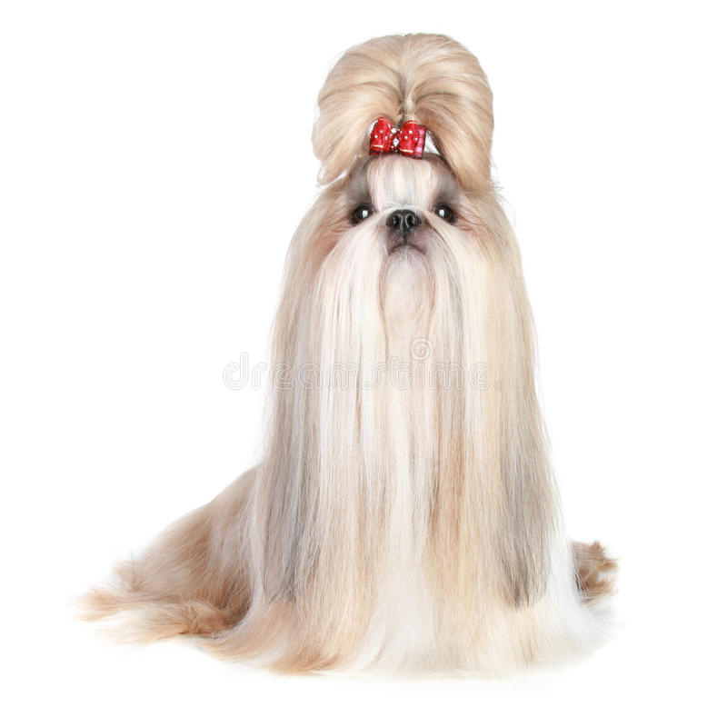 Cão do shih-tzu da raça imagens de stock royalty free