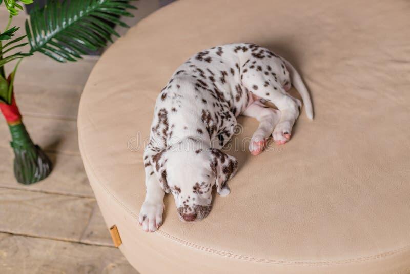 Cão do sono na cama Animal de estimação em casa Retrato bonito do cachorrinho dalmatian 8 semanas velho Cachorrinho dalmatian peq imagem de stock
