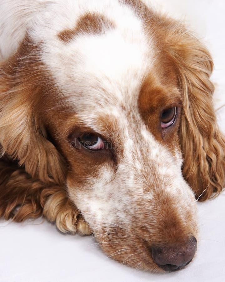 Cão do spaniel de Cocker imagem de stock royalty free