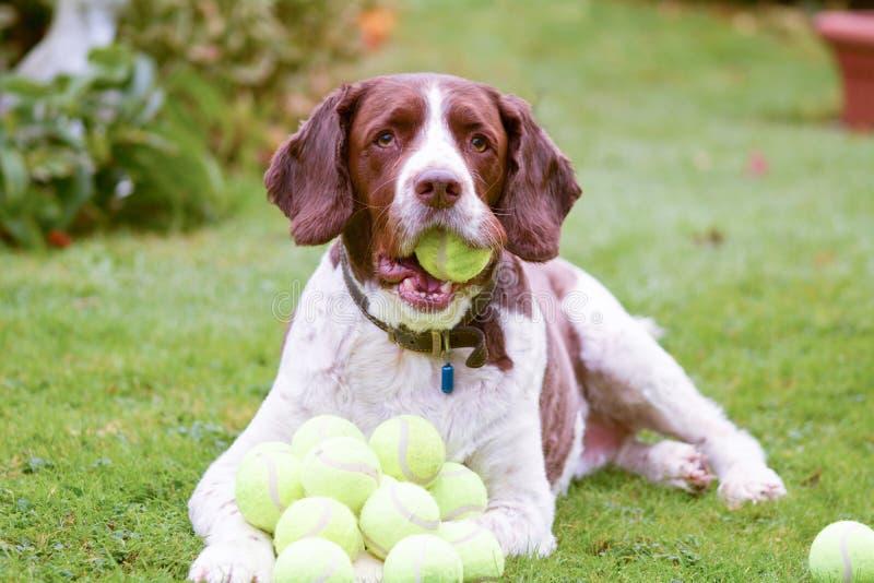 Cão do spaniel de Springer inglês com lotes de bolas de tênis imagens de stock royalty free