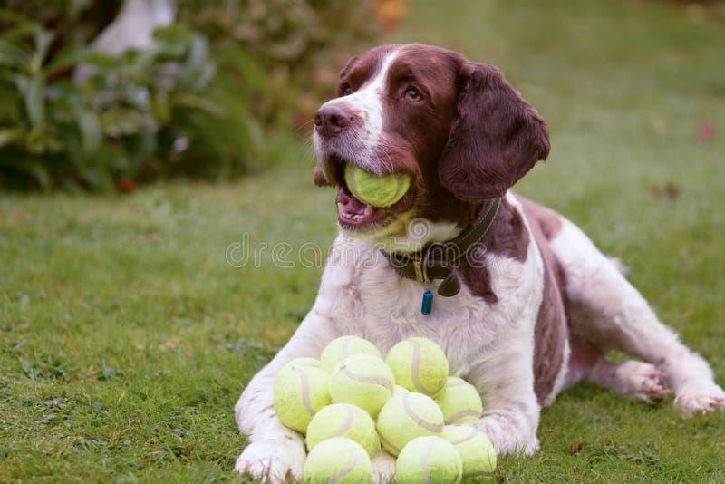 Cão do spaniel de Springer inglês com lotes de bolas de tênis fotos de stock