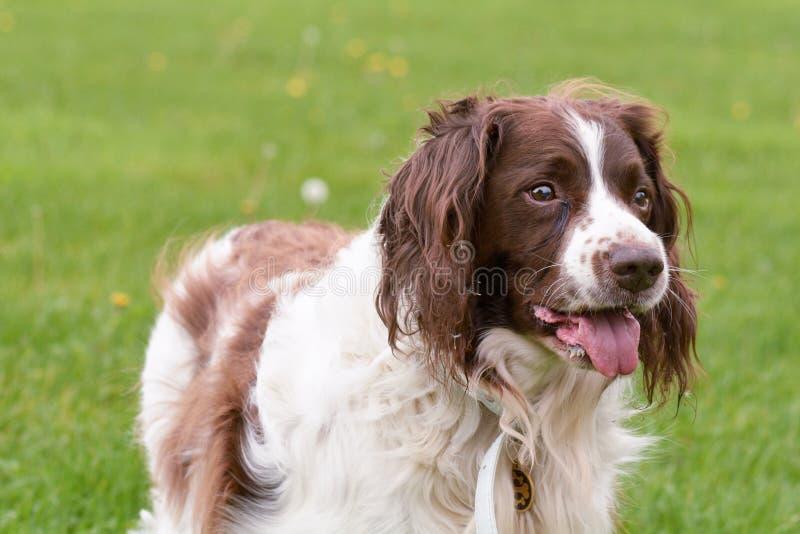 Cão do spaniel de Springer inglês no parque imagem de stock royalty free