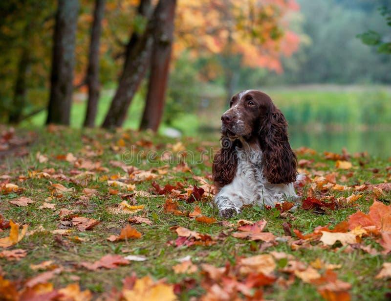 Cão do spaniel de Springer inglês que encontra-se na grama Fundo do outono Abra a boca foto de stock royalty free
