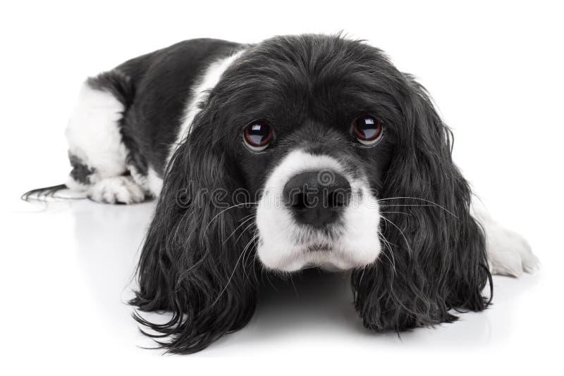 Cão do spaniel isolado foto de stock royalty free