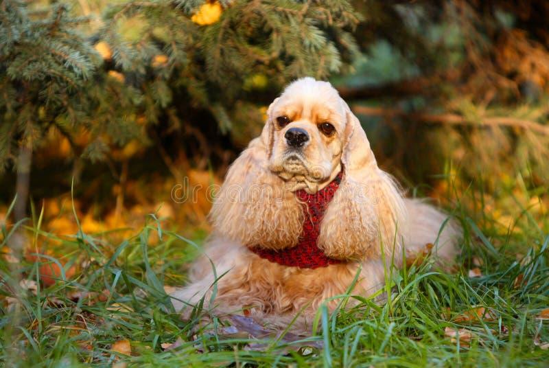 Cão do spaniel que encontra-se na grama perto da árvore imagem de stock
