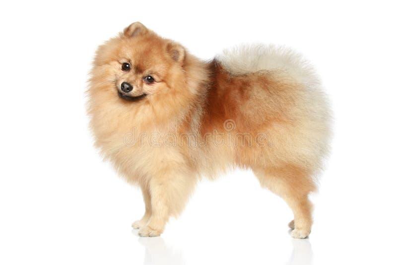 Cão do Spitz de Pomeranian fotos de stock royalty free
