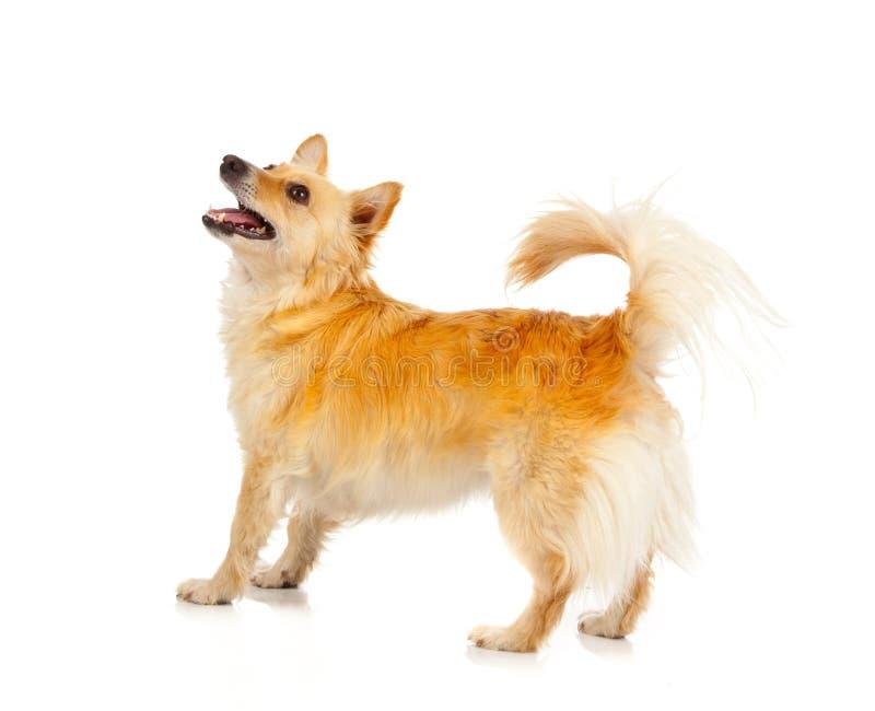 Cão do Spitz no fundo branco foto de stock royalty free