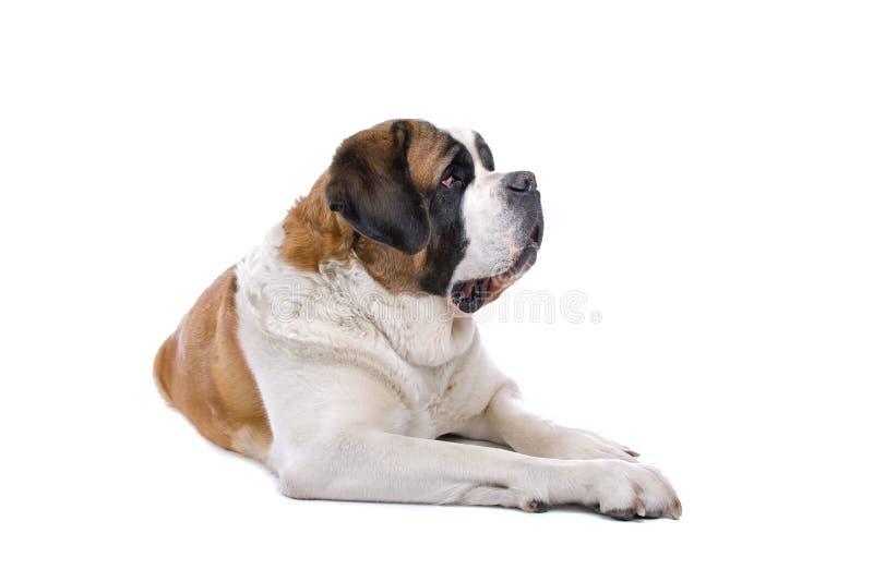 Cão do St. Bernard no branco foto de stock