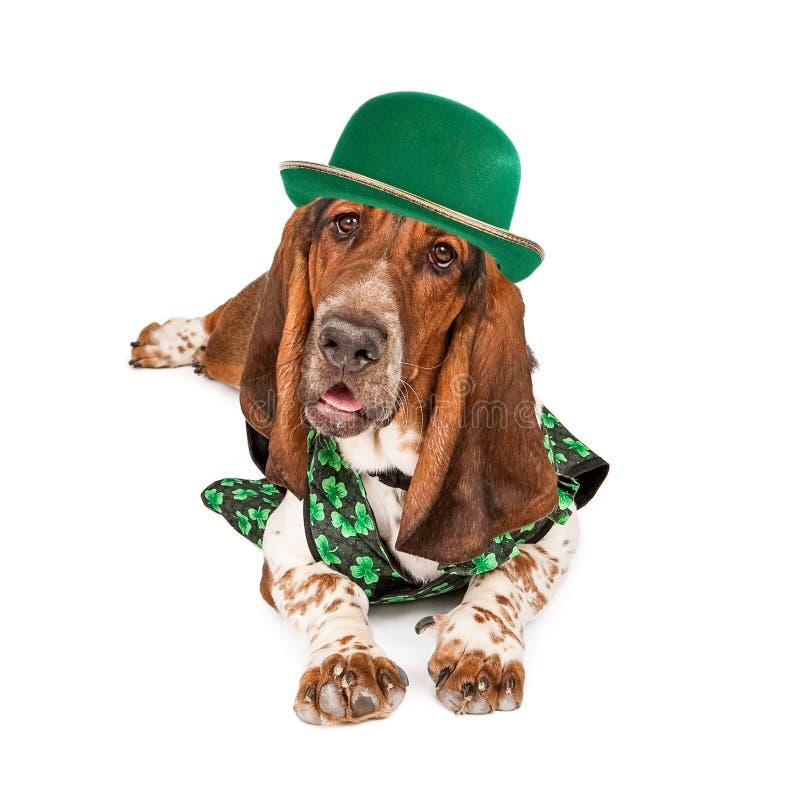 Cão do St Patricks Basset Hound do irlandês imagens de stock royalty free